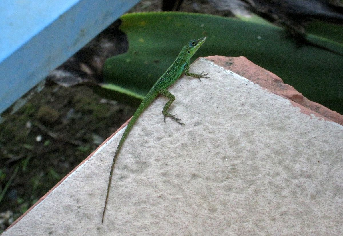 Anolis (Zandoli), lézard de Martinique