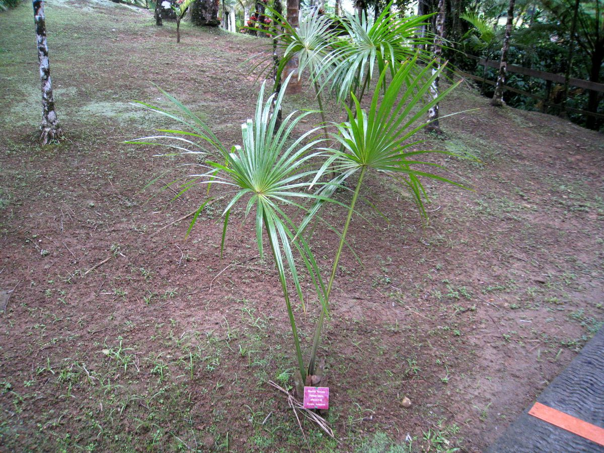 La palmeraie, jardin de Balata
