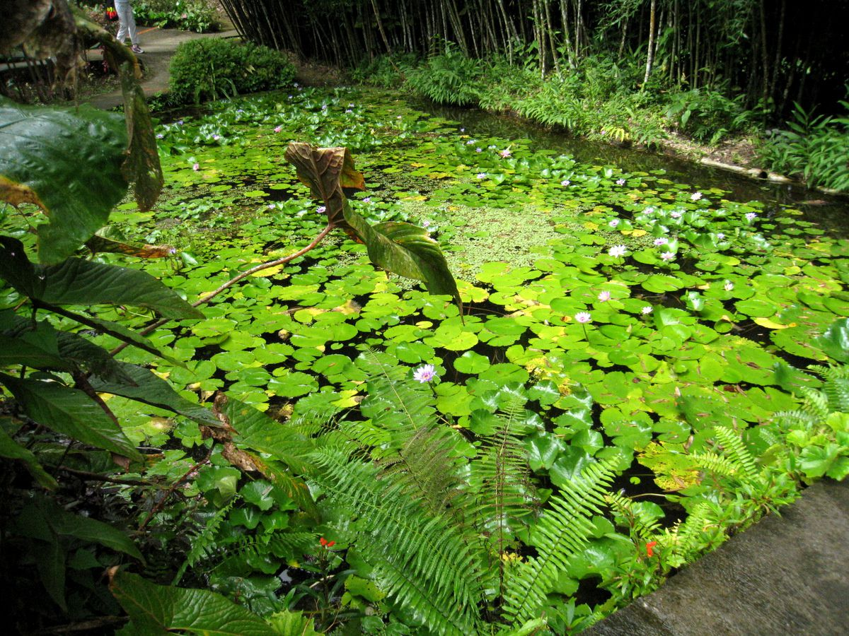 plante aquatique martinique