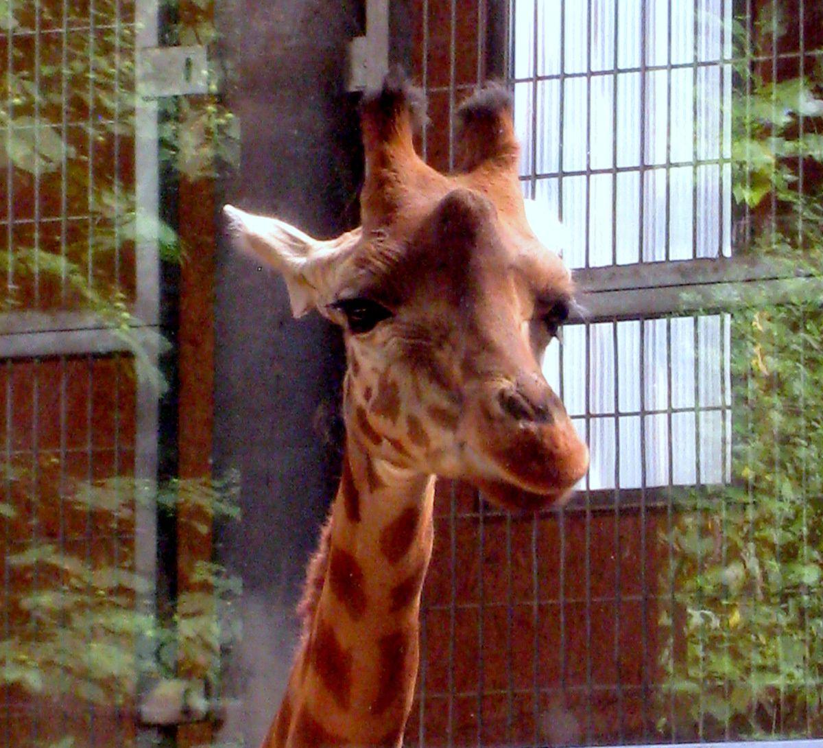 Girafes, parc de la Tête d'Or à Lyon