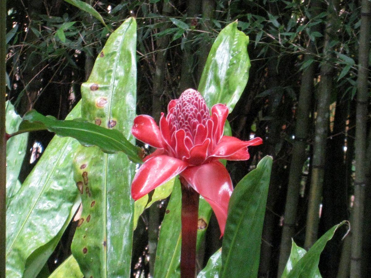 Alpinias géants et roses de porcelaine, jardin de Balata