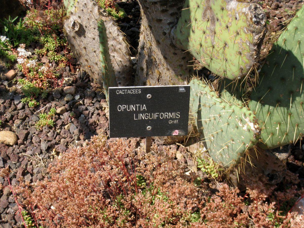 Plantes succulentes (figuiers), parc de la Tête d'Or à Lyon