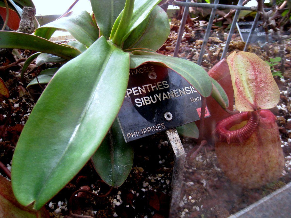 Nepenthes sibuyanensis, parc de la Tête d'Or