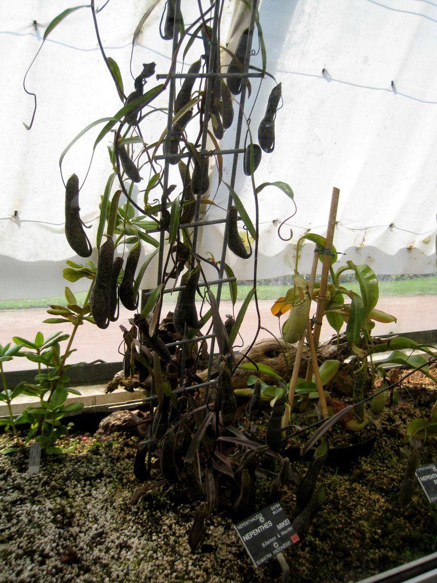 Nepenthes Mikei, Parc de la Tête d'Or à Lyon