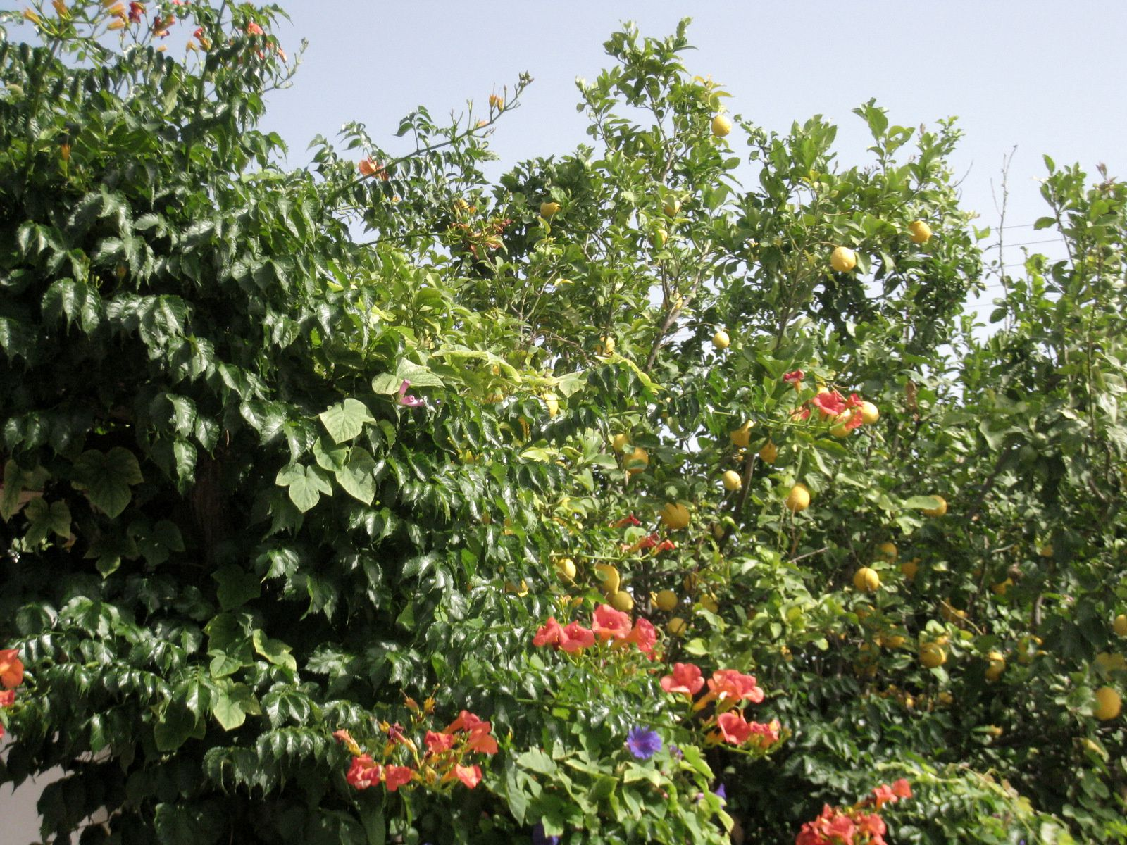 Figuier de barbarie, fleurs et oliviers, Péloponnèse sud