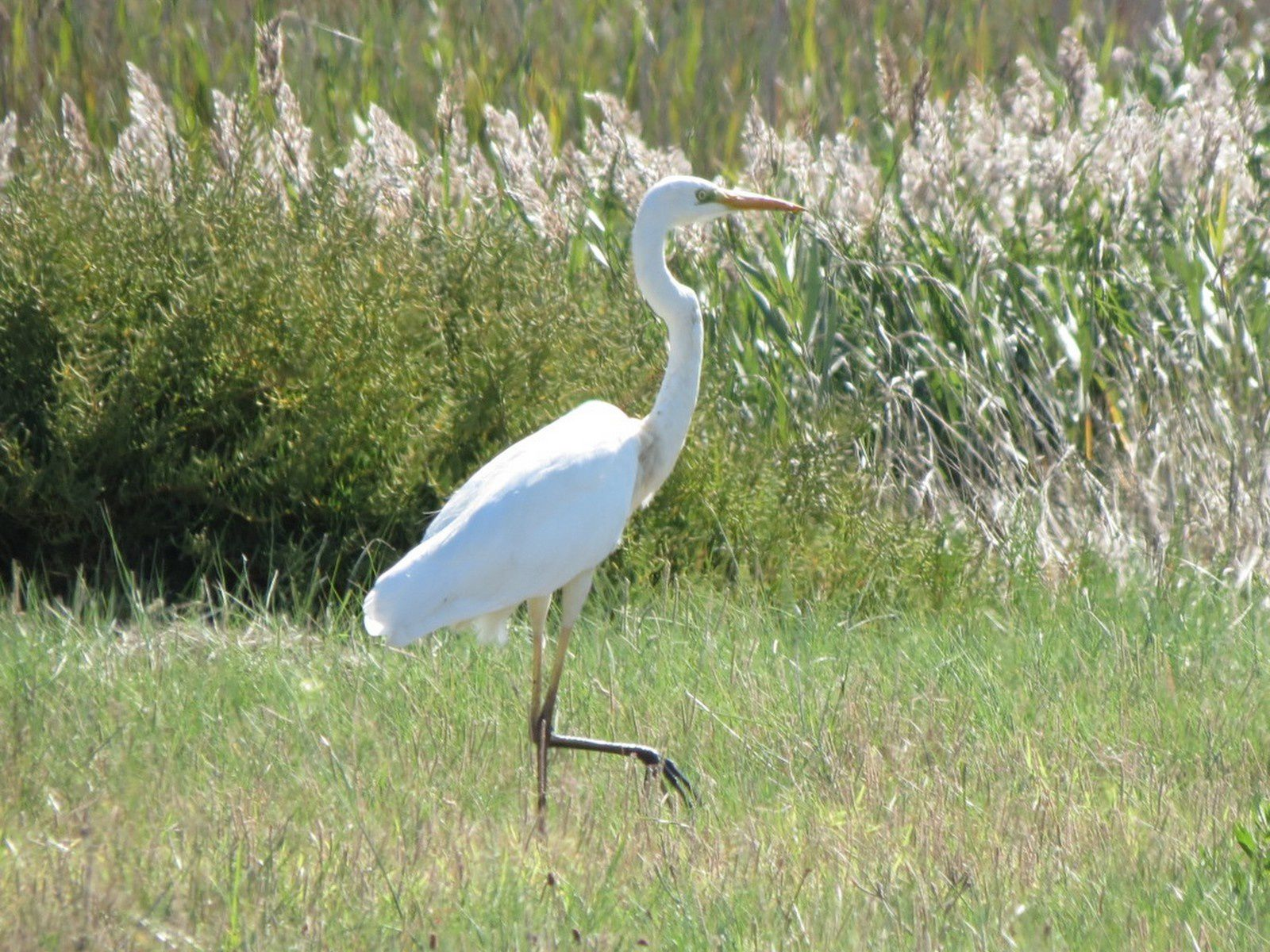 la gracieuse grande aigrette
