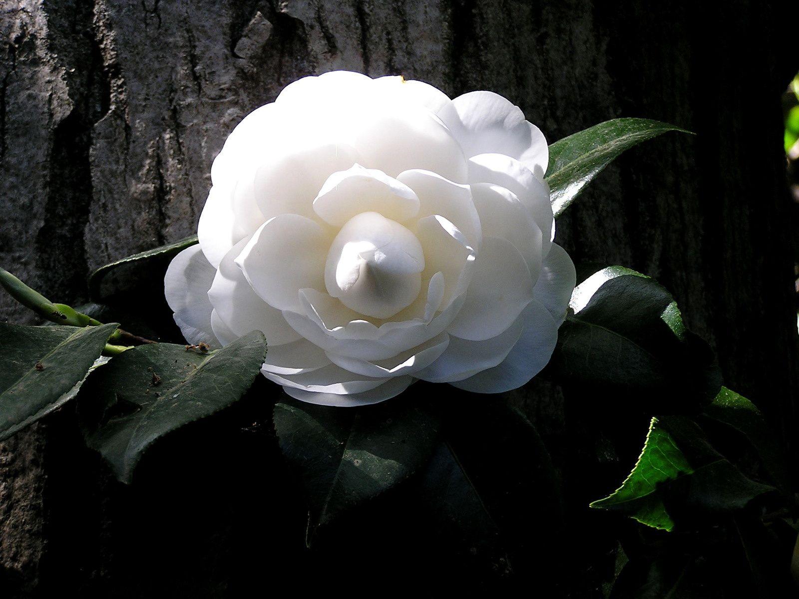 Lovée contre le tronc d'un arbre dont la circonférence est impréssionante une branche de camélia à choisi d'y prendre son appui, sa fleur préte à éclore laisse présager en son coeur un gros bouquet d'étamines