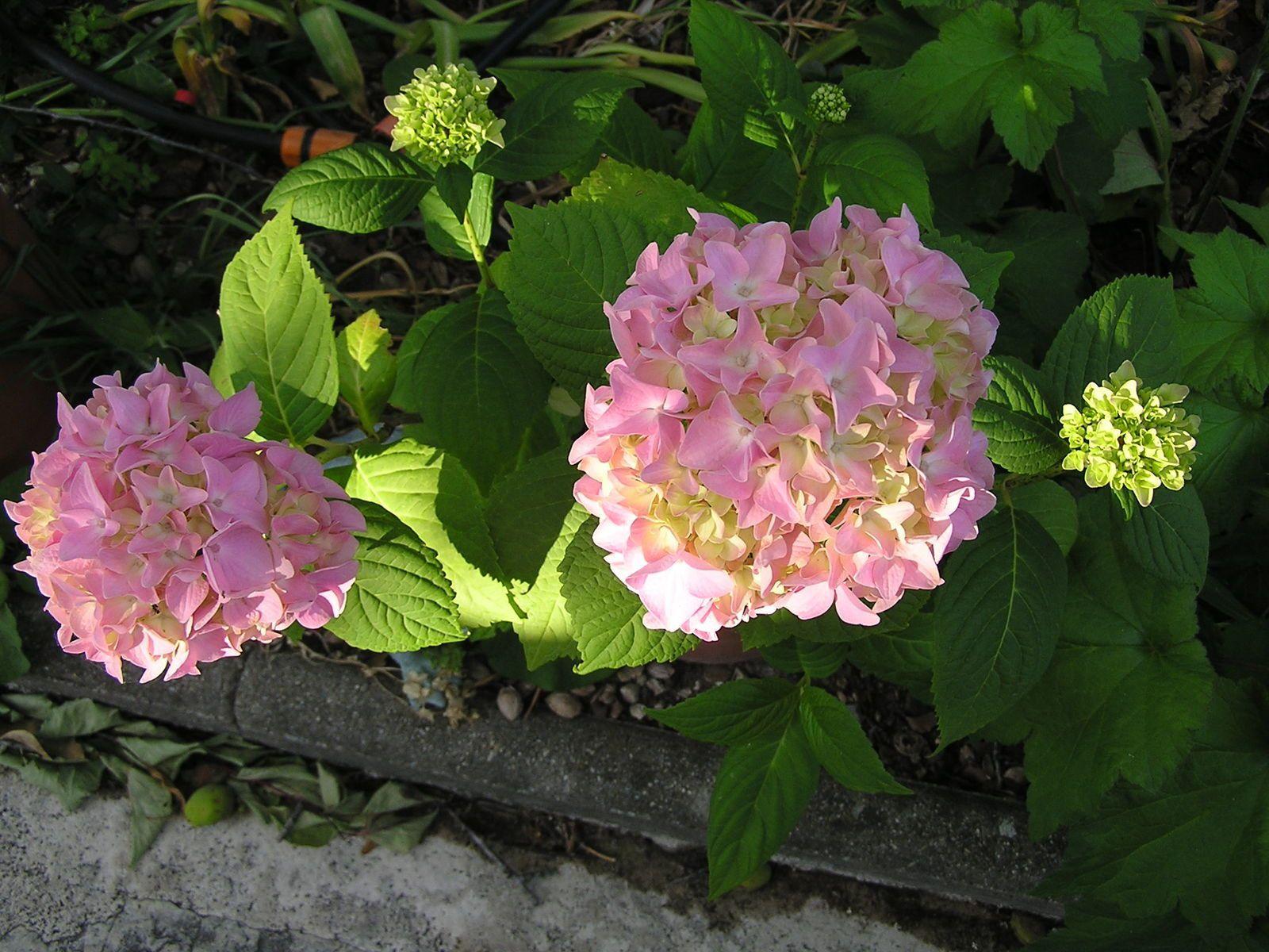 Premières fleurs d'hortensia