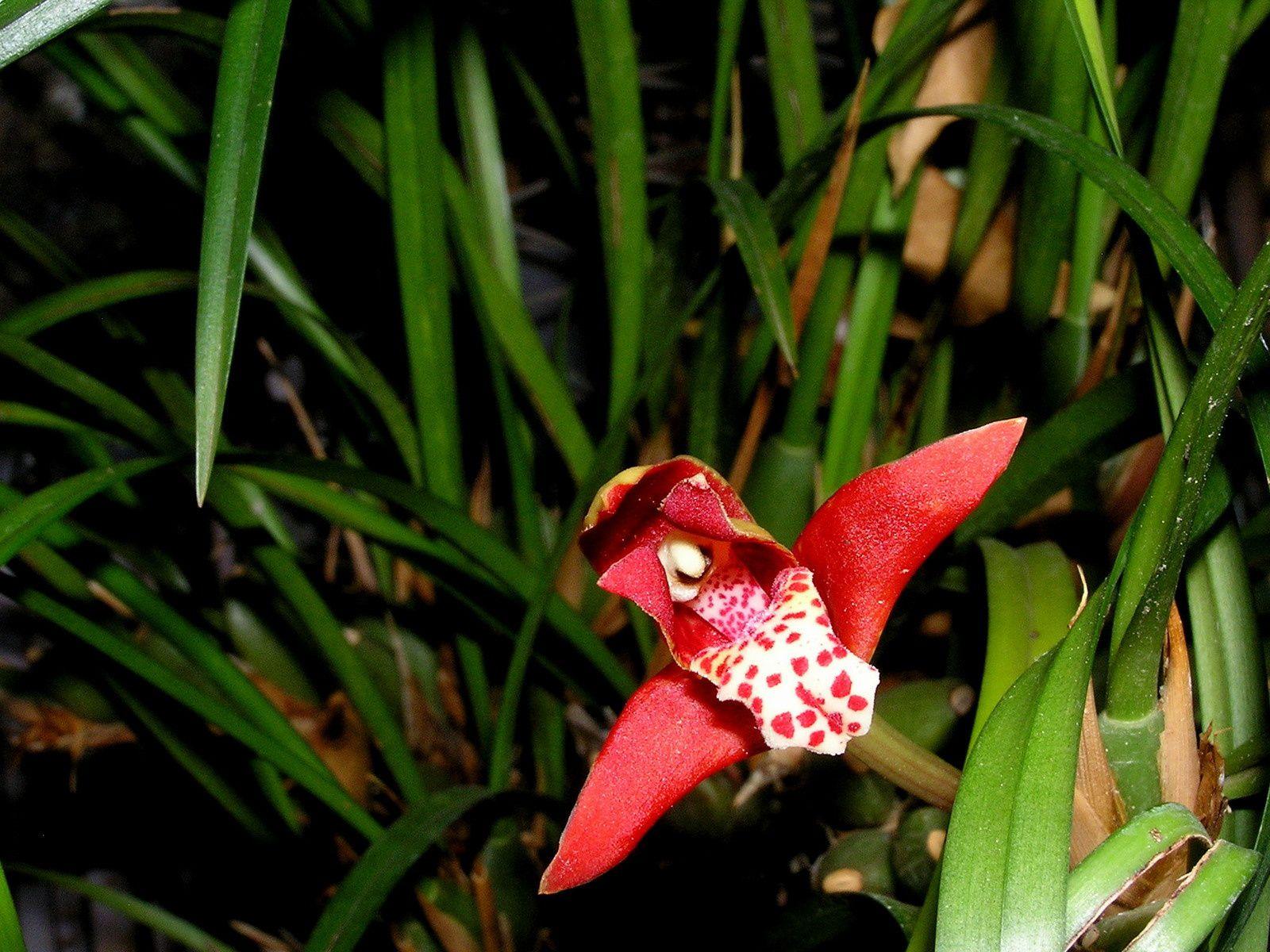 Orchifidélité : maxillaria tenuifolia