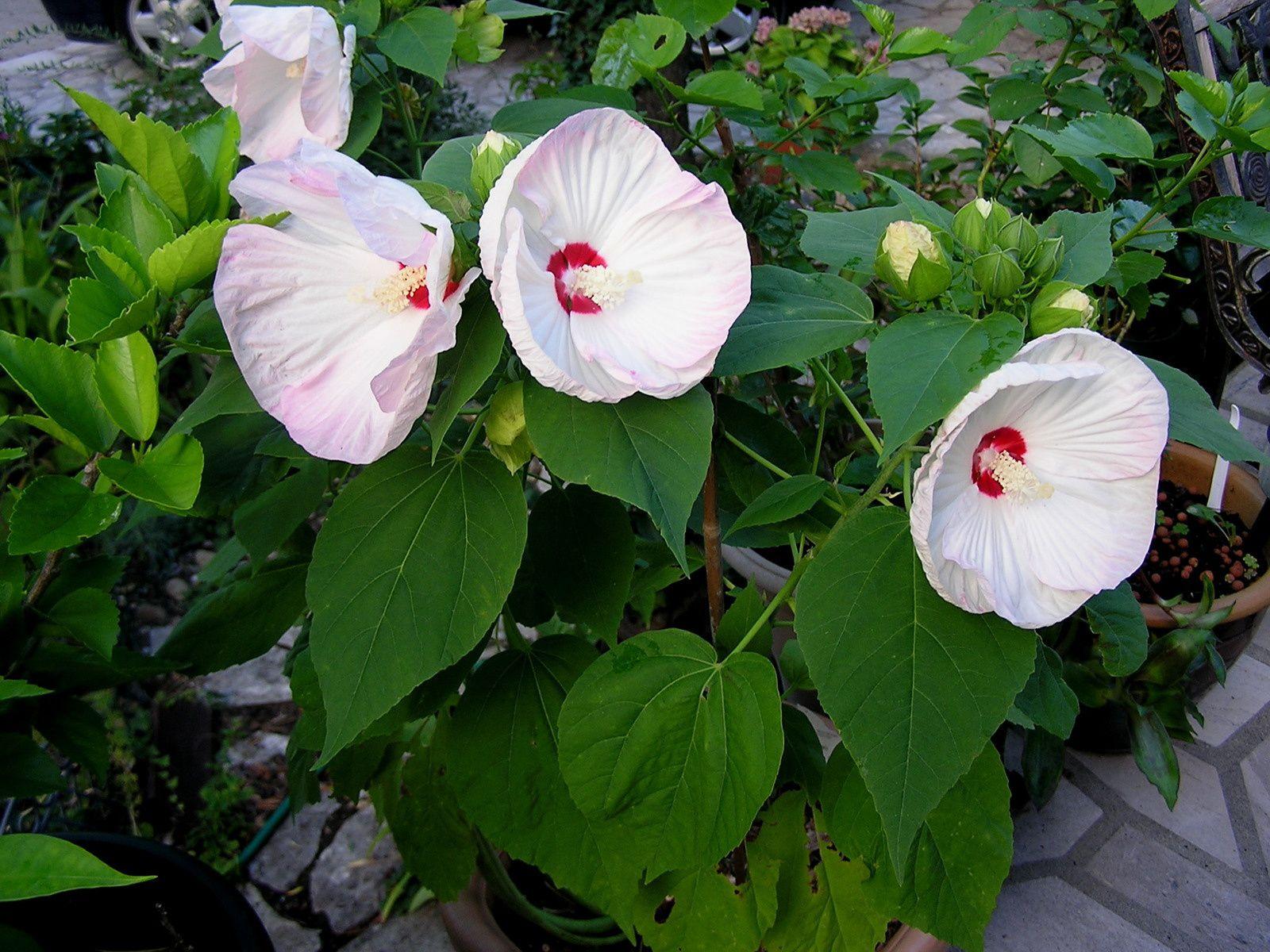 hibiscus moscheutos avec des promesses de fleurs à venir