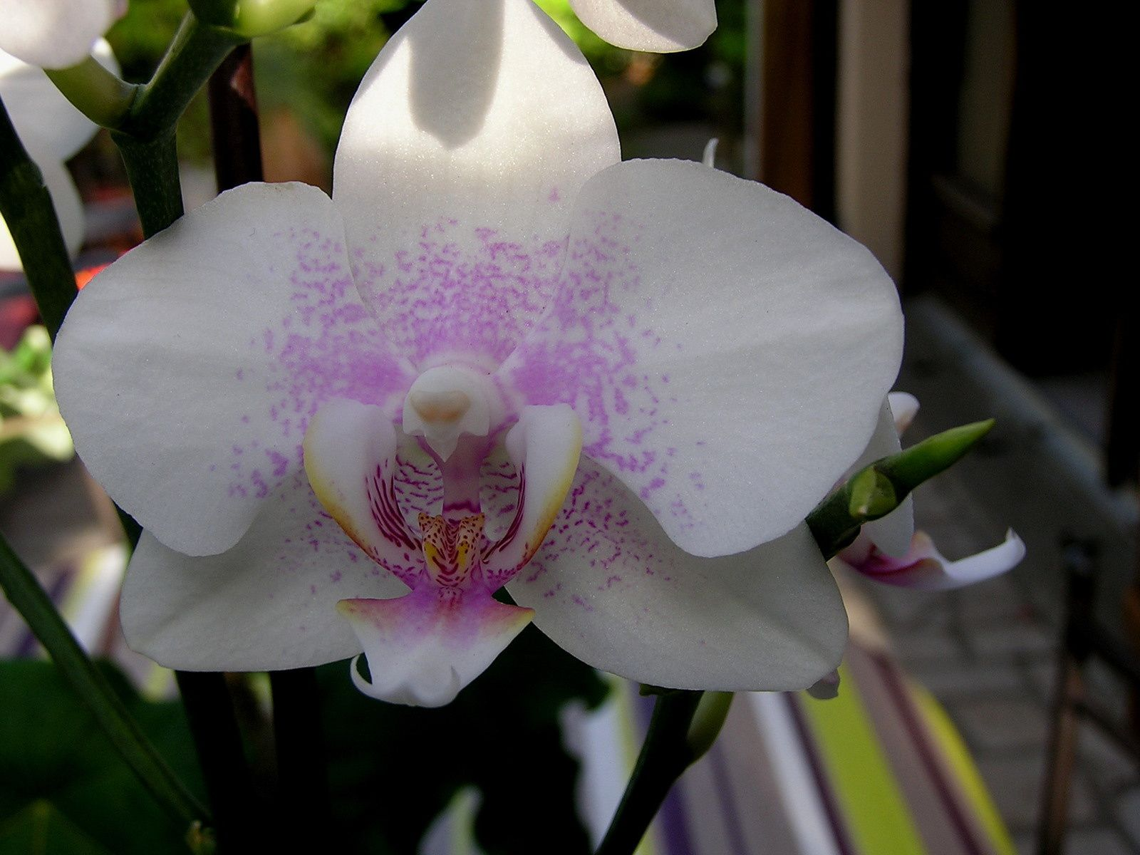 Labelorchidée : Phalaenopsis hybride