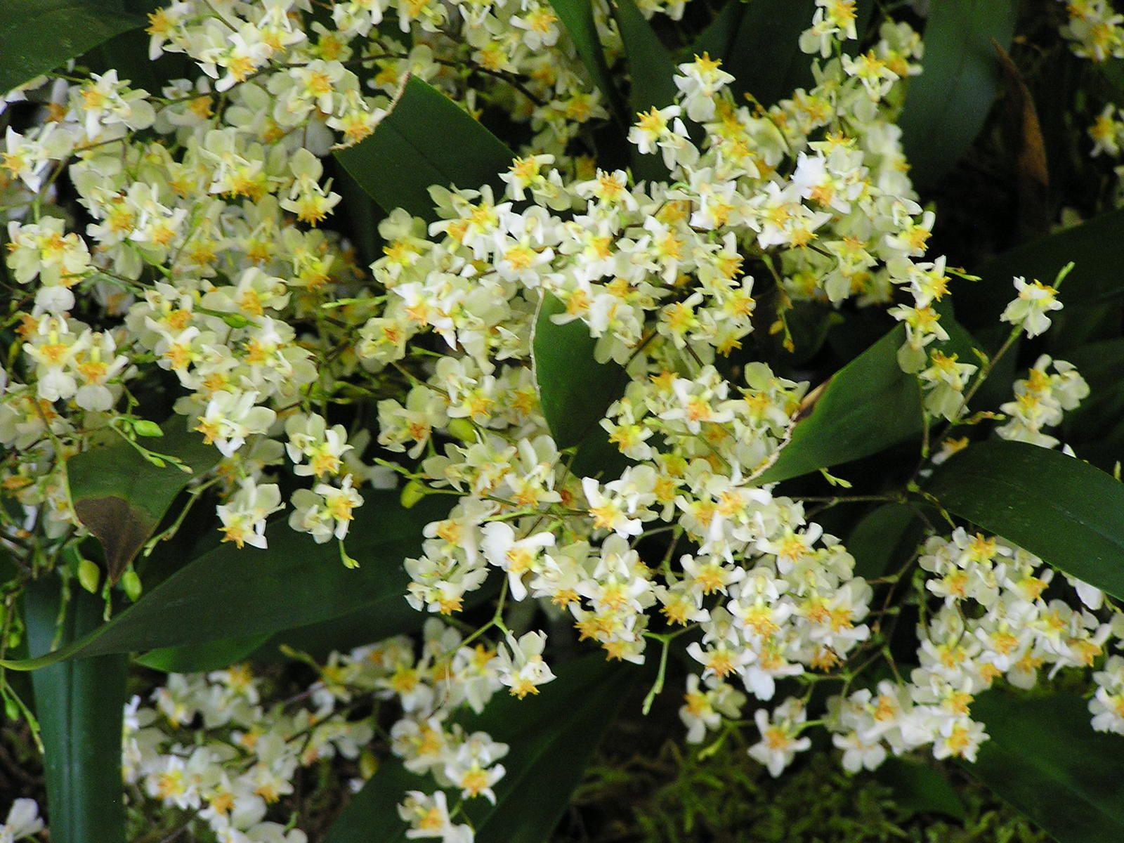 Oncidium Tiny Twinkle