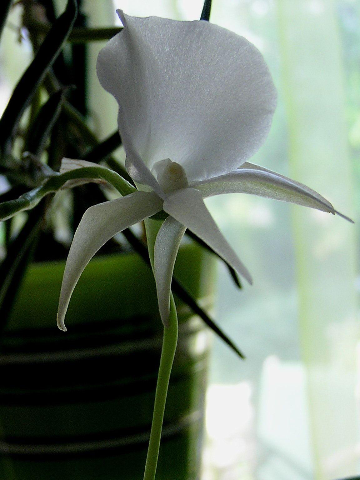 Angraecum scottianum :  tempéré  *  voir fiche