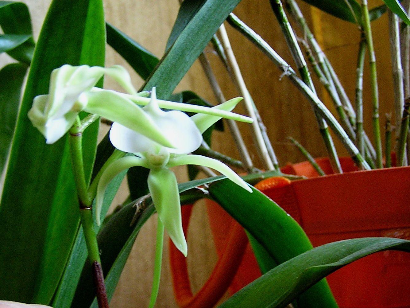 angraecum eburneum  : tempéré * voir fiche
