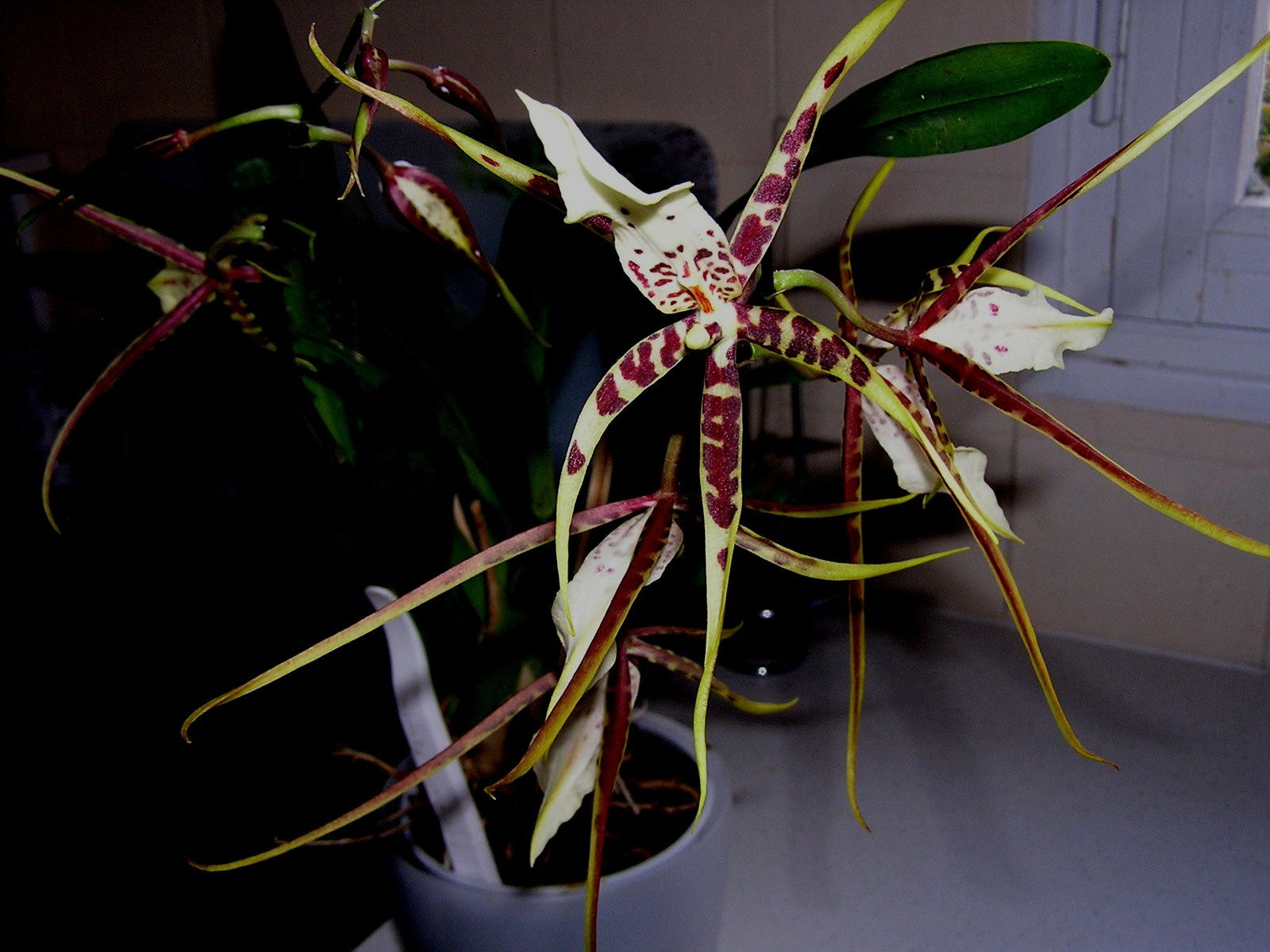 Orchifidélité : Brassia hybride