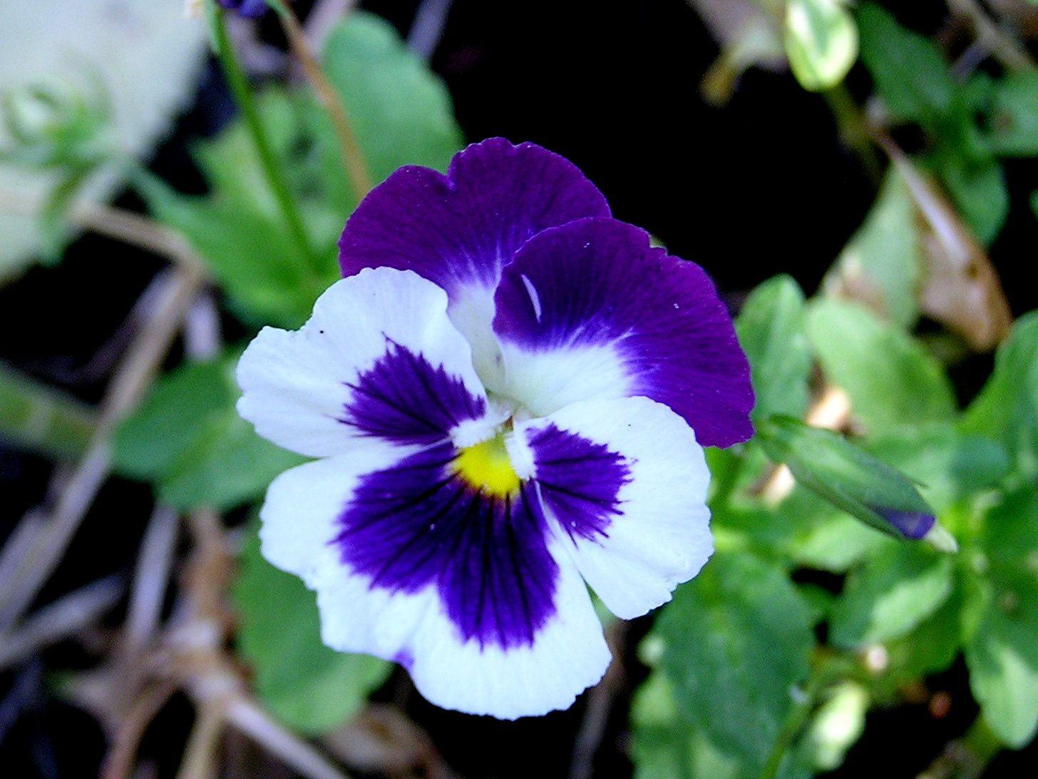 Le pinceau du peintre c'est amusé à déssiner des rayons de lumière qui lui confére cette délicatesse ,les pensées à petites fleurs fleurissent plus longtemps et sont souvent délicieusement parfumées