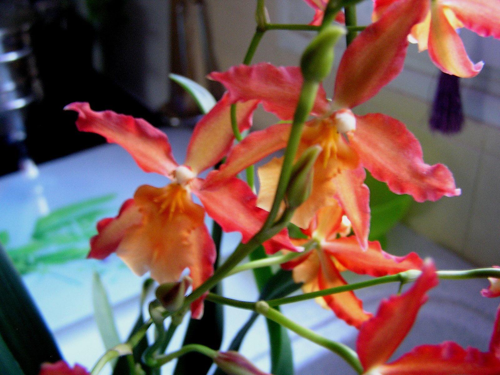 Labelorchidée : Odontoglossum