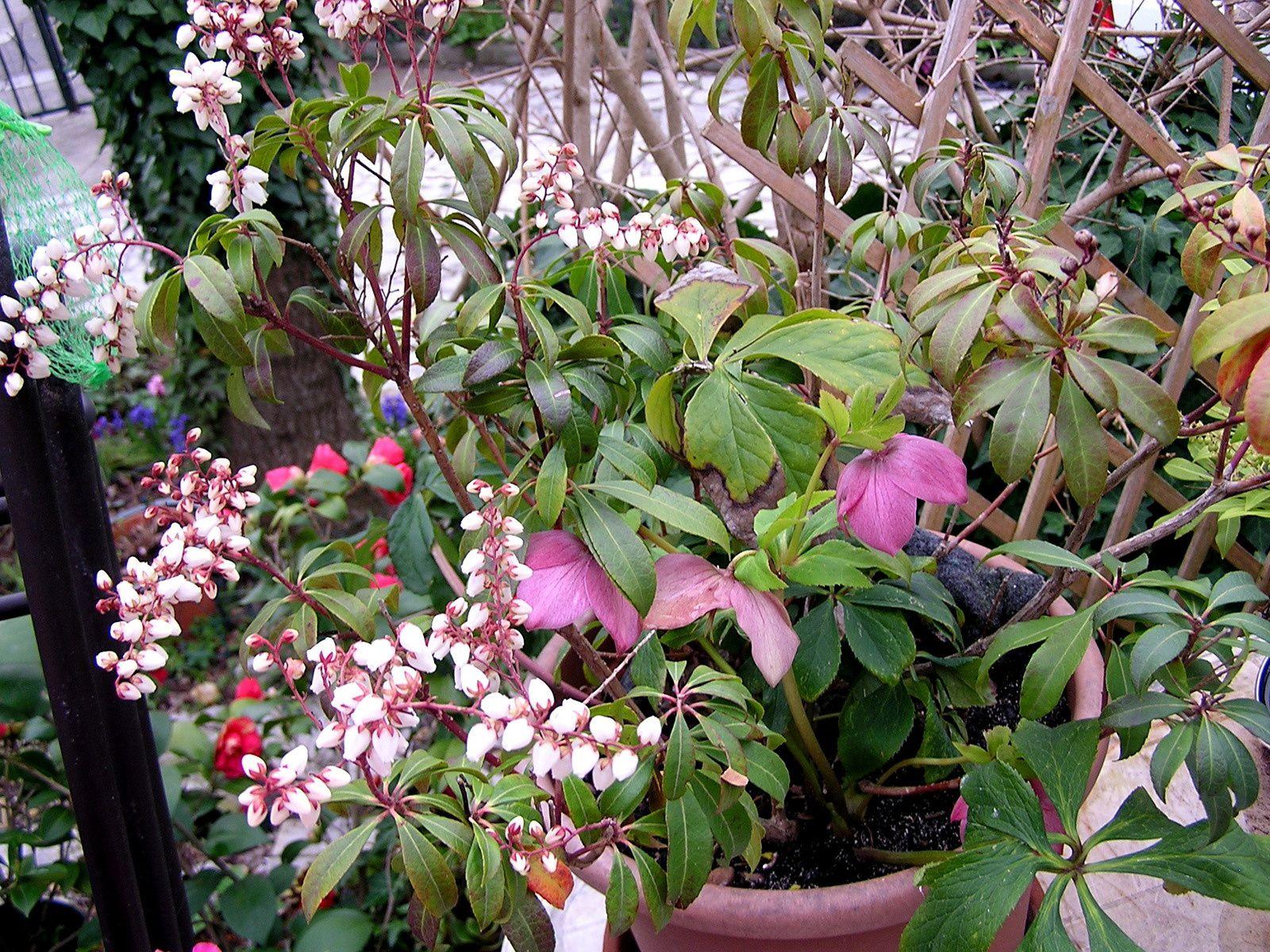 2014  18 mars la floraison s'essouffle le pot devient trop petit 2015 à droite de l'écran le confirme, il fera l'objet d'un rempotage à l'automne