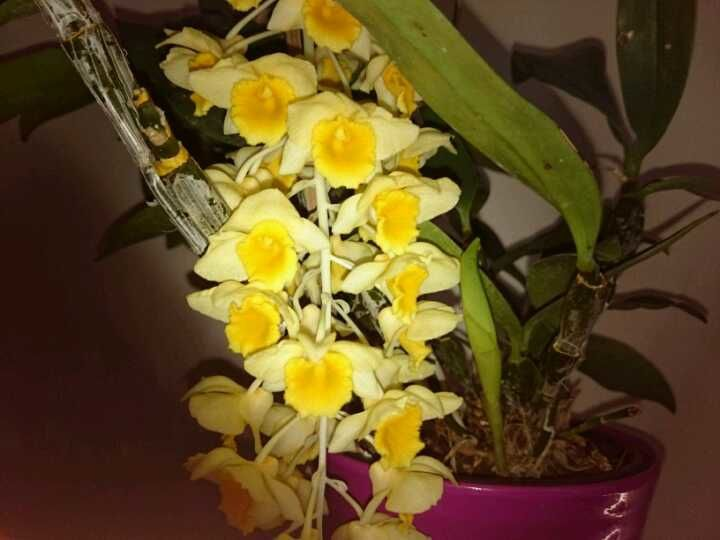 Orchifidélité : Dendrobium thyrsiflorum
