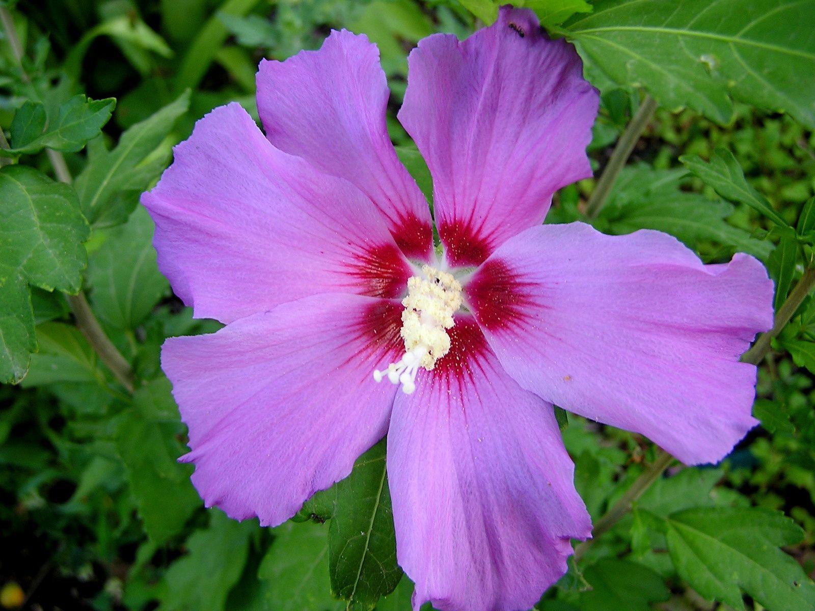 les althéas c'est le plein boum fleur ouverte le  matin , fleur à terre le soir certains les ramassent pour  concocter de délicieux sirop