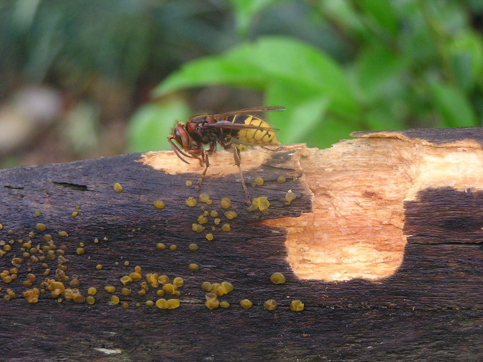 un couple de bourdon me vole ( sans autorisation ) des morceaux de bois sur le dossier du banc de la terrasse pour confectionner leur nid