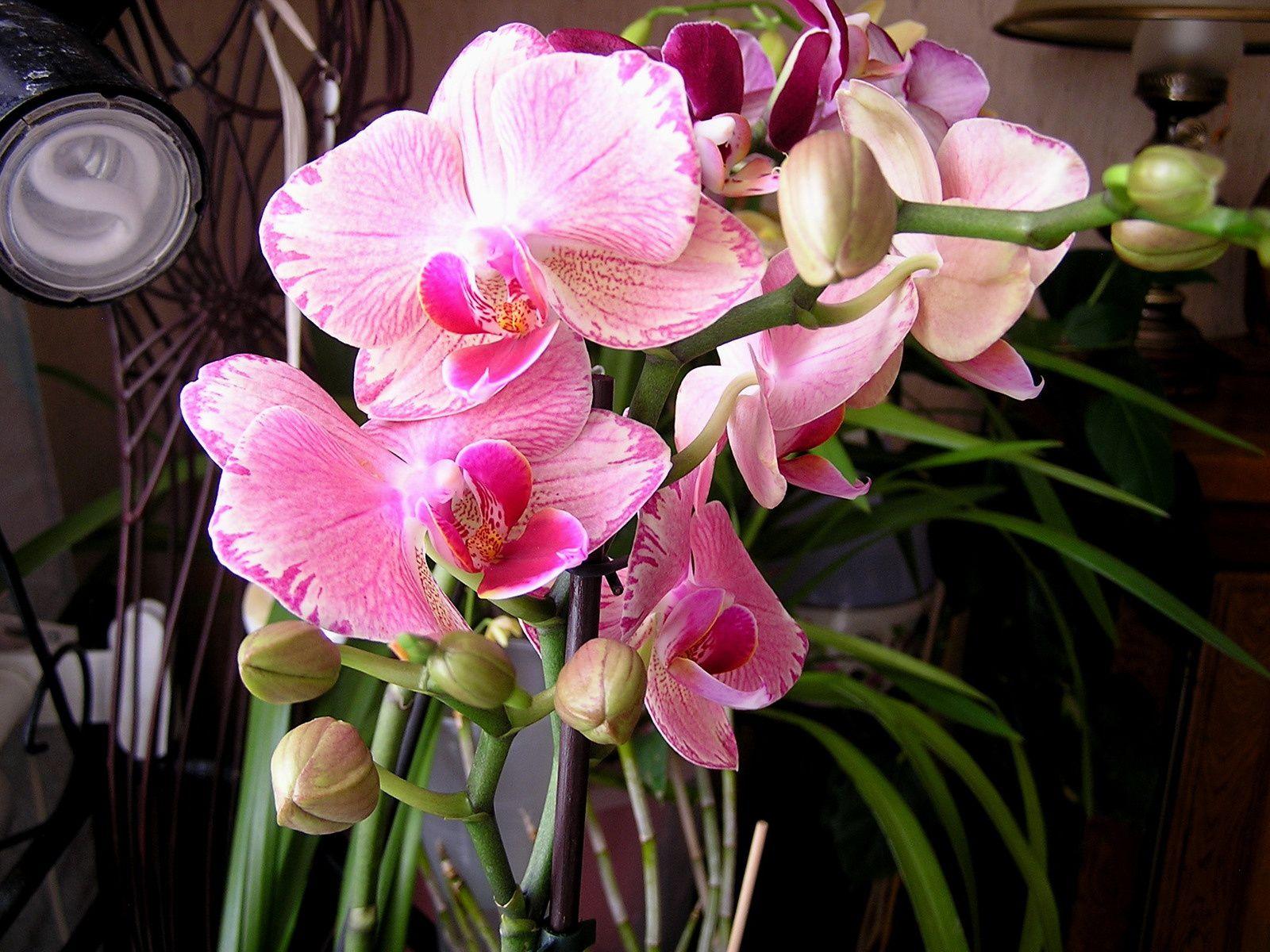 Labelorchidée: phalaenopsis hybride