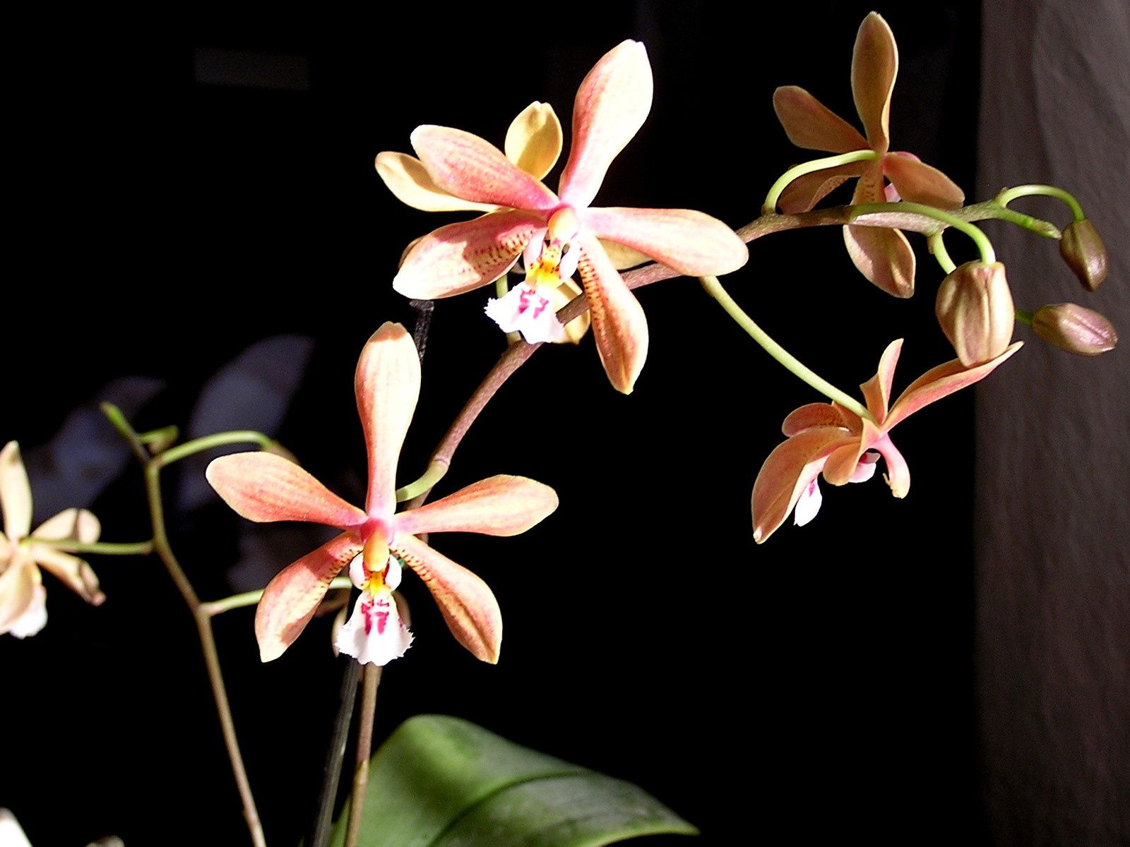 Labelorchidée : Phalaenopsis mannii black x schilleriana