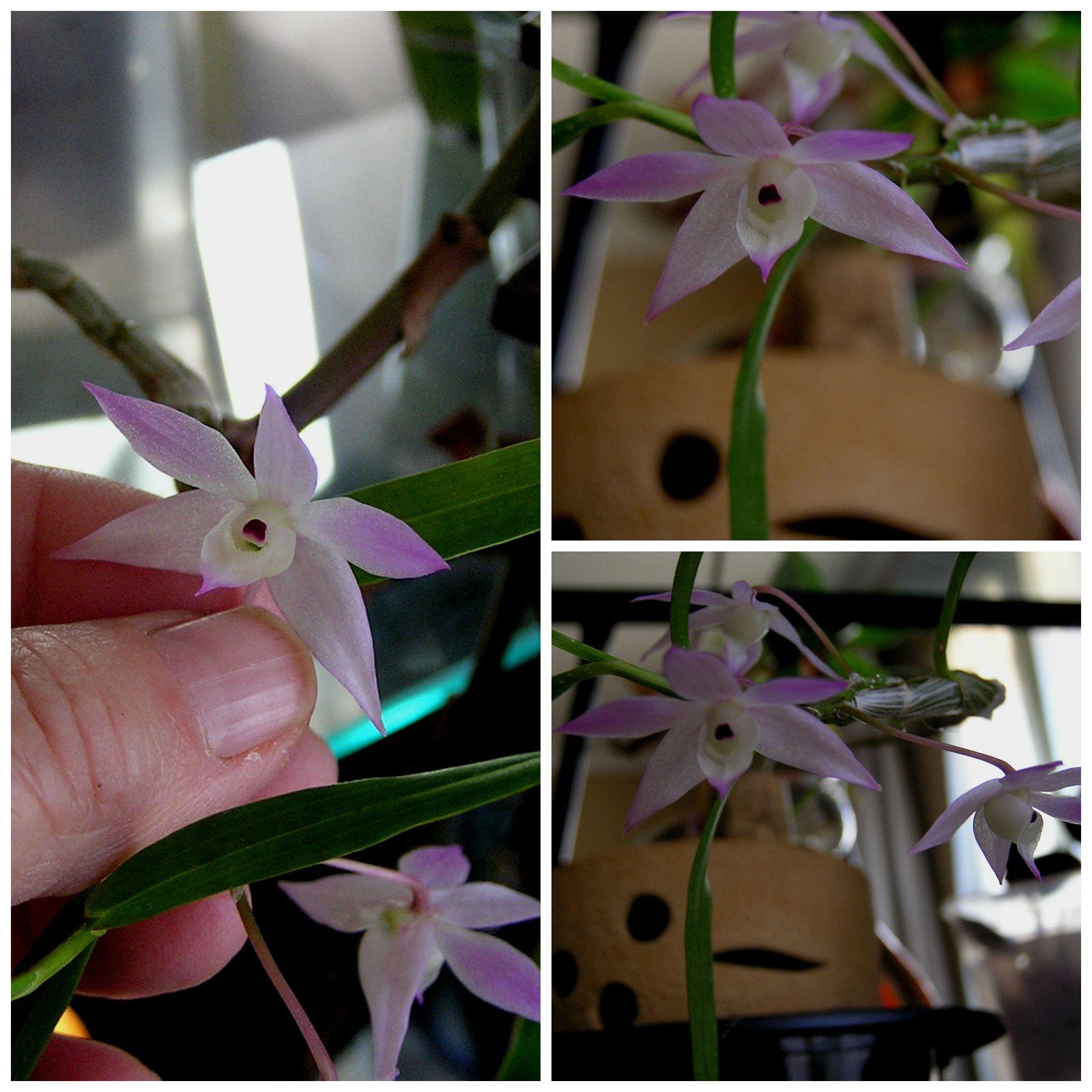 Labelorchidée : Dendrobium hercoglossum