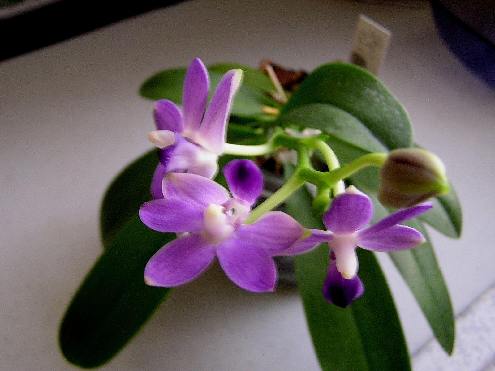 Coucou me revoilou : doritaenopsis Purple Martin &quot&#x3B;KS&quot&#x3B;