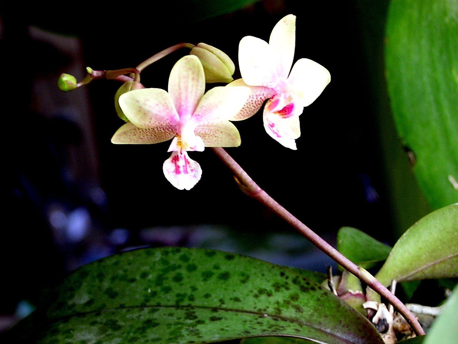 Choisissez de préférence une plante adulte et en fleur à moins d'être un orchidophile averti