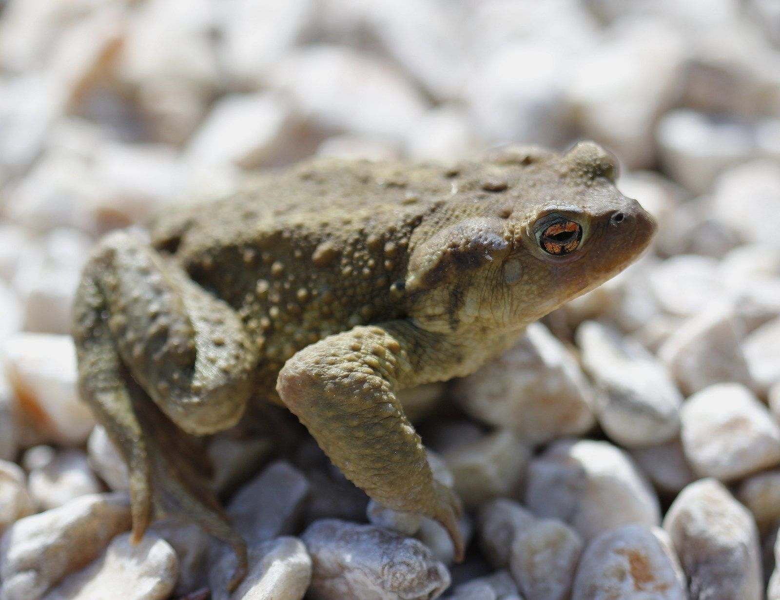 Le crapaud épineux - bufo bufo spinosus