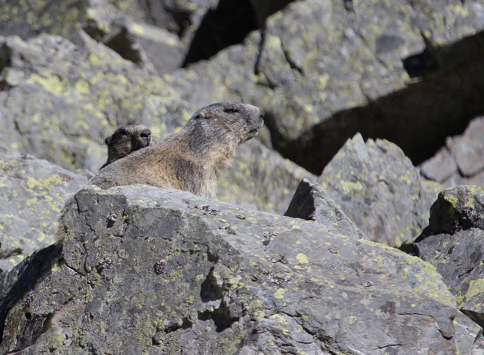 Le mimétisme de la marmotte