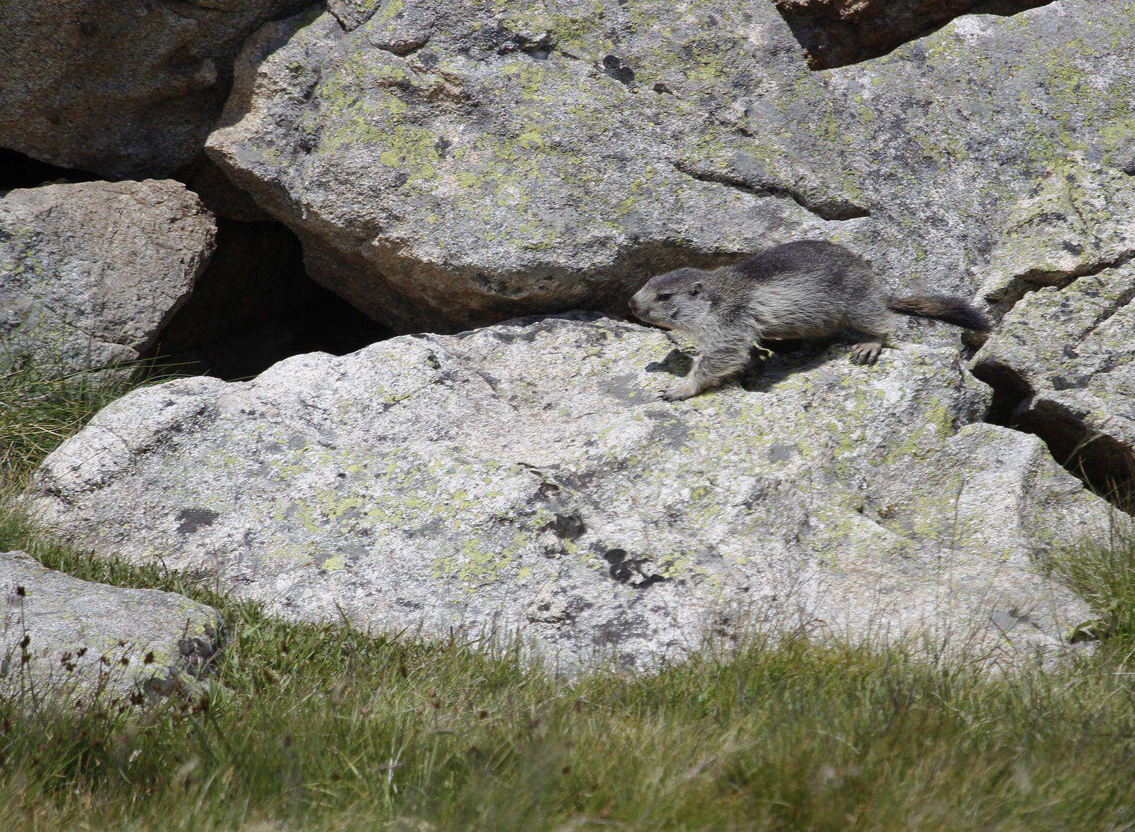 On retrouve les marmottes après le lac d' Aubert