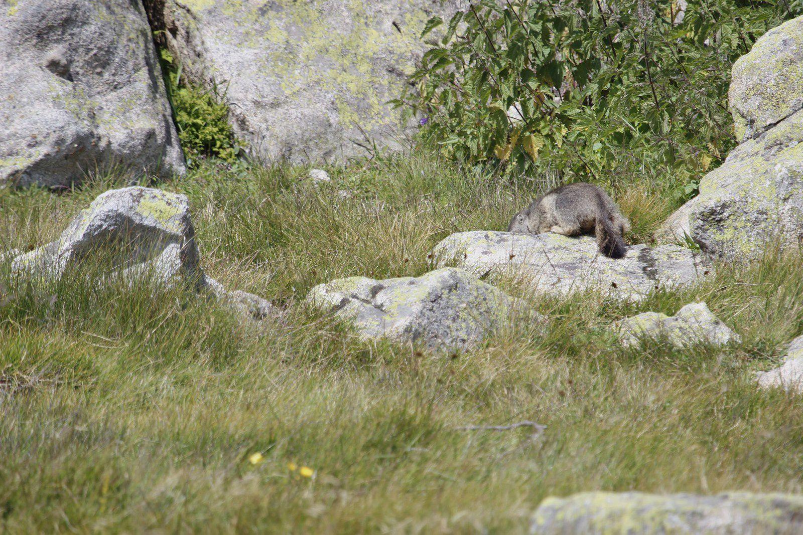 la séance photo terminée, la marmotte . . .