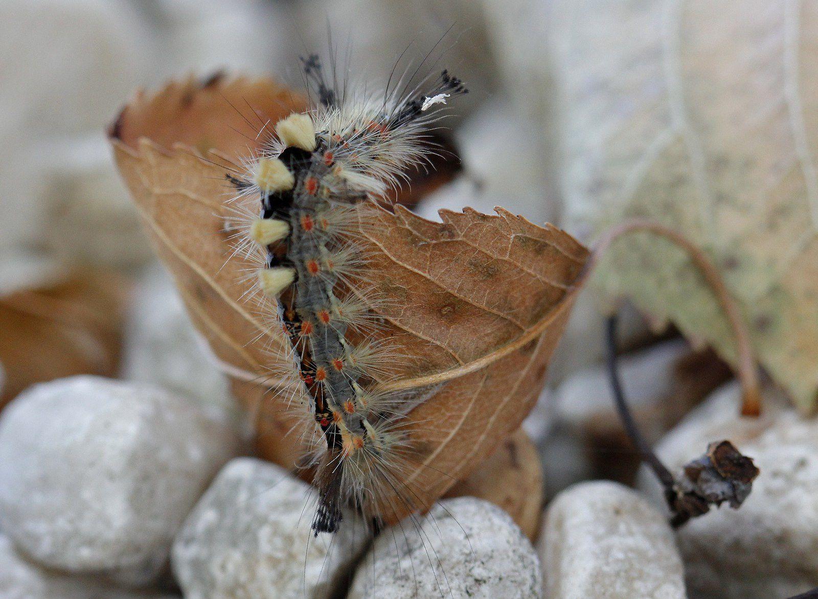 Chenille du bombyx étoilé, l' orgyia antiqua mâle