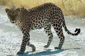 Pourquoi le léopard a des taches ?