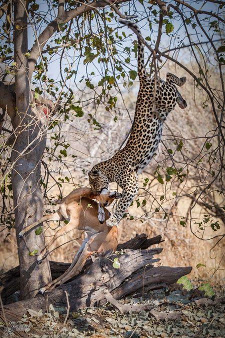 Un léopard attaque une antilope du haut d'un arbre
