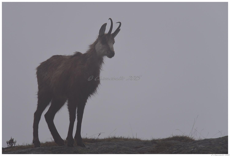 chamois dans la brume