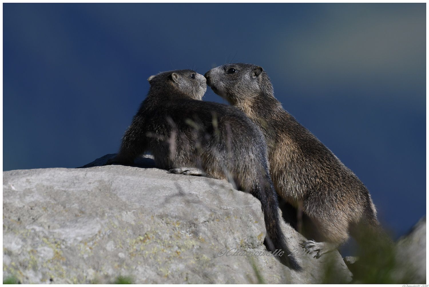 marmottes 4
