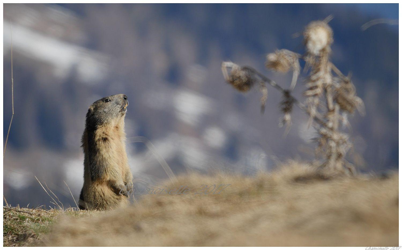 jeu de marmottes