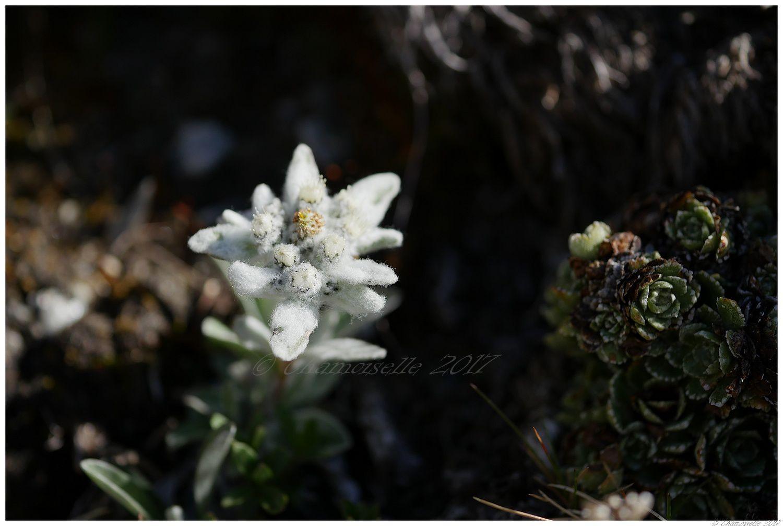 quelques fleurs de montagne