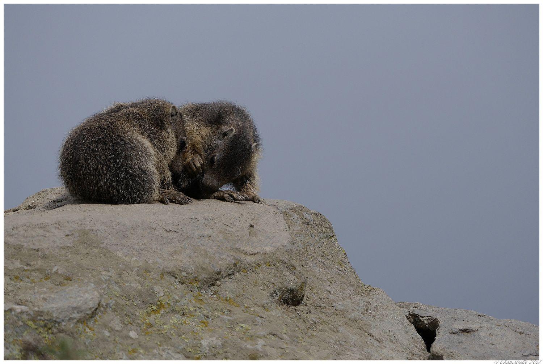 marmottes suite 5