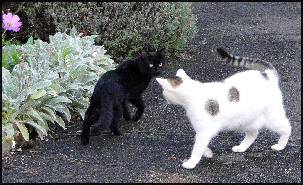 Mes chats : Aventure et sa descendance : Mont-Blanc, Panda.... etc