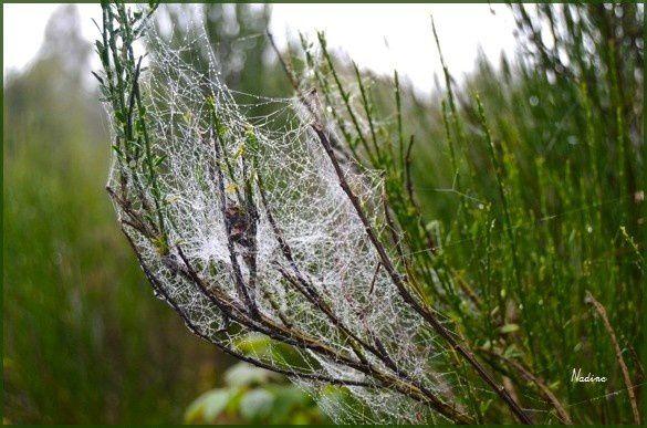 Toiles d'araignées dans la rosée...