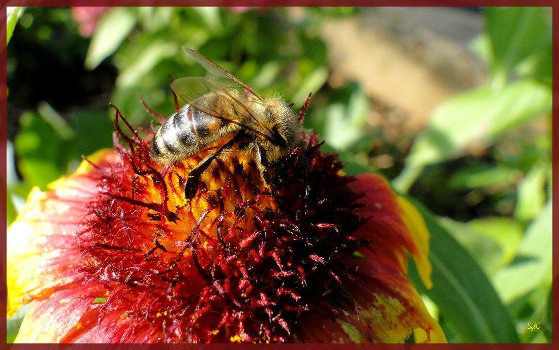 Insectes butinant...