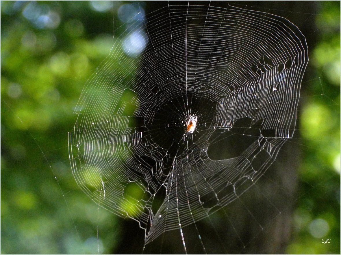 Toiles d'araignées en forêt...