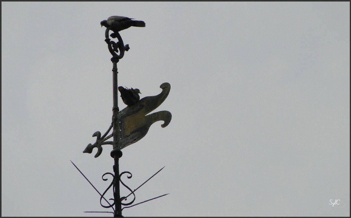 Foulque et pigeons...
