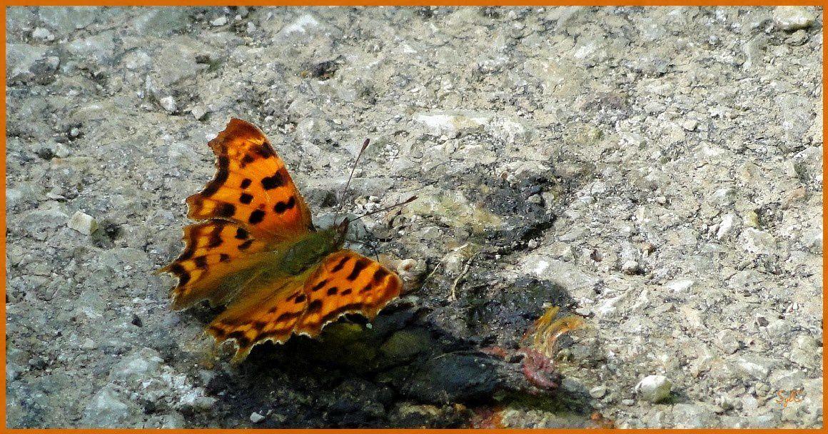 Papillon orange...