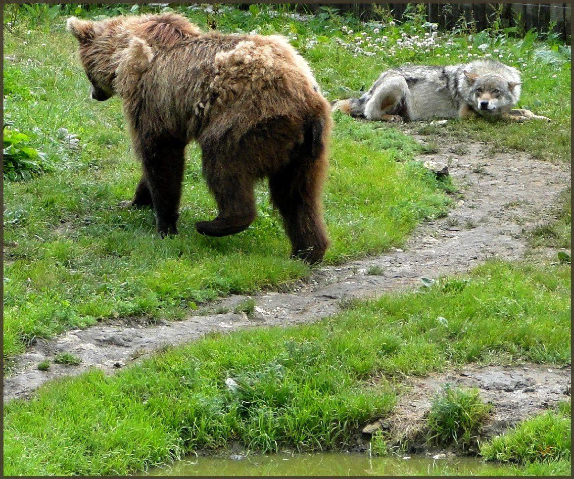 Rencontre entre un ours et un loup !