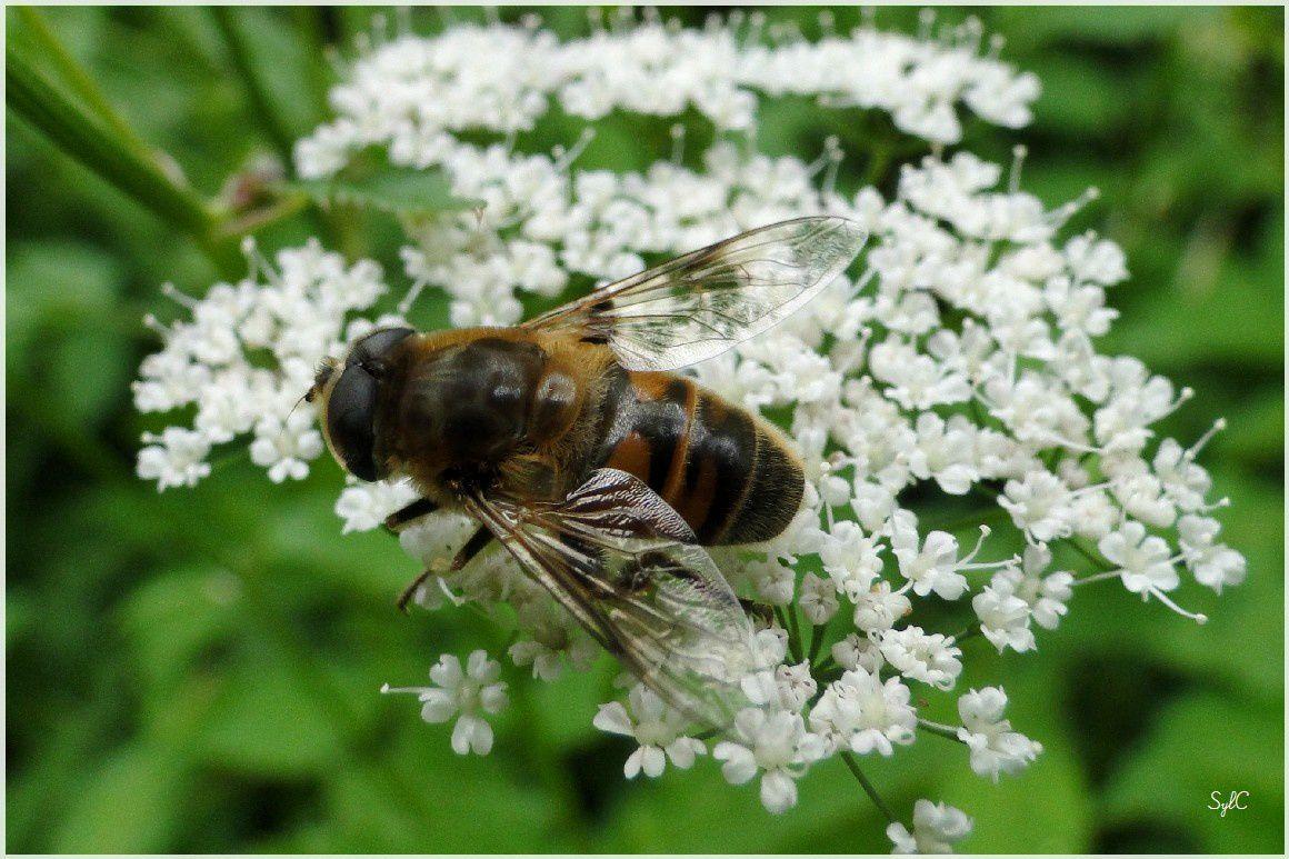 Insectes sur fleurs...